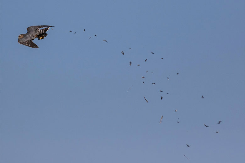 Falconers Value Lead Free Airgun Pellets For Hunting